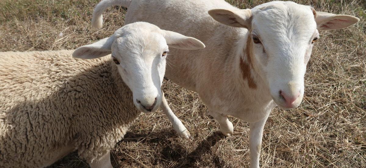 Grass-fed Lamb