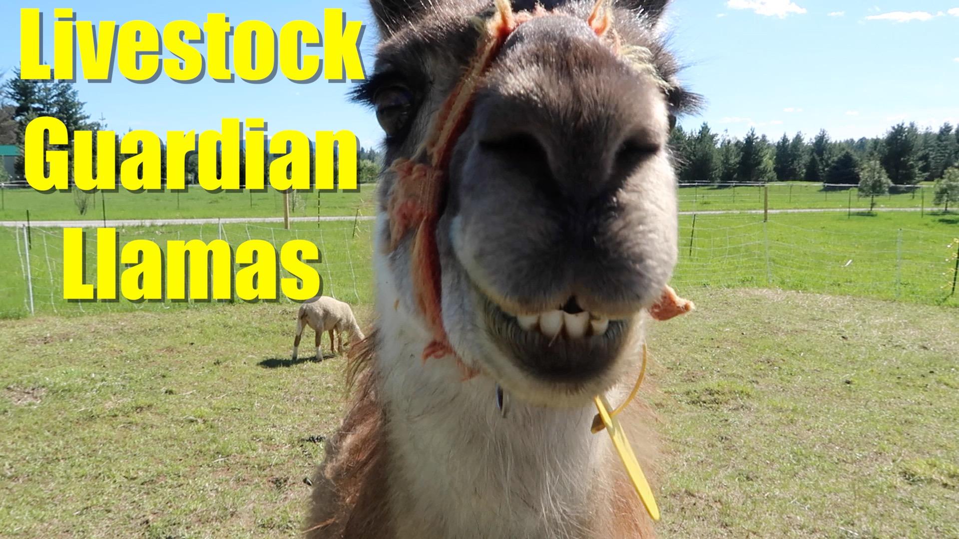 On Llama Wrangling